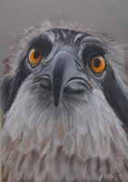 Osprey and pastel pencils by riksons