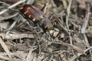 Bronzed Tiger Beetle by mack1time