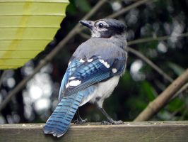 bluejay blues by Lou-in-Canada