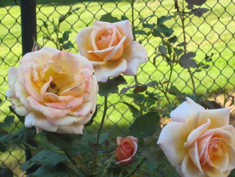 Precious Pink Roses by CreativeChic21xoxo