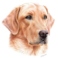 Labrador Drawing by Kot-Filemon