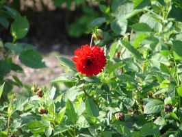 Red flower by the road by Westerfarmer