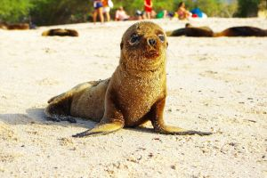 Galapagos Sea Lion by Andrezao