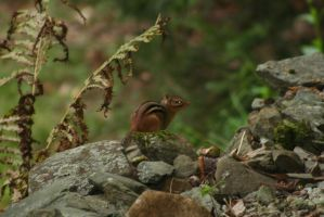 Chipmunk on Rocks I by Stock-Wulf