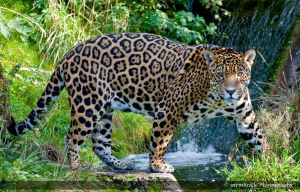 Jaguar 0298o by Haywood-Photography