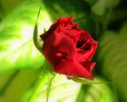 Red rose by stefeli-reloaded