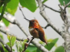 Rufous Hummingbird by Ekira-Txonite