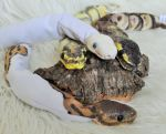 Mini Ball Python Art Dolls FOR SALE by Killslay-steelclaw