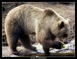 Brown Bear Dining by brander