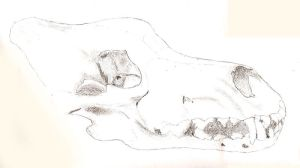 Wolf Skull Drawing - Scan by Sudak
