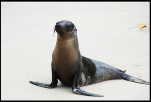 sea lion galapagos 2 by melrose86