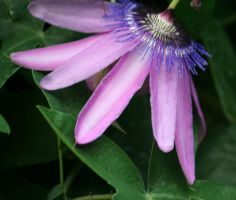 passionflower from side by ingeline-art