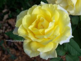 Pale Yellow Rose by JamDebris