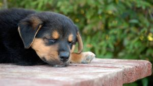 Rottweiler Puppy 4 by CanuckZD