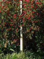 Bottlebrush by makepictures