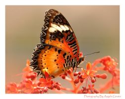 Common Lacewing by 3whiteroses