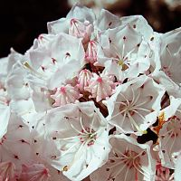 Mountain Laurel Blossom 03 by Geak-of-Nature