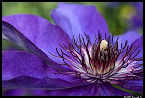 Purple Clematis III by butterfly36rs