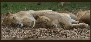 Sleeping Lions by sheiabah