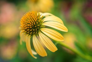 Orange cone flower by Vironevaeh