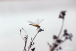 Dragonfly by Abletodoall