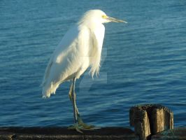Pier Egret Looking Right by NodokaVisualArts