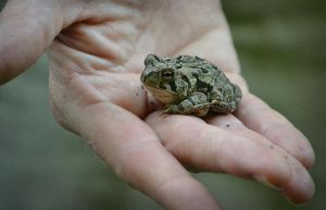 A Toad in the Hand by mtsofan