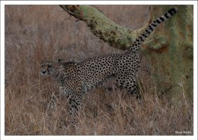 Cheetah marking its territory by KlaraDrielle