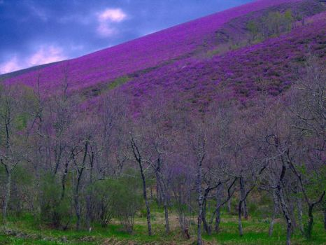purple meadow by curruca