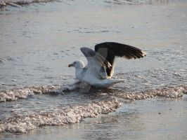 Seagull in the Water with Wings Open by Charlief43