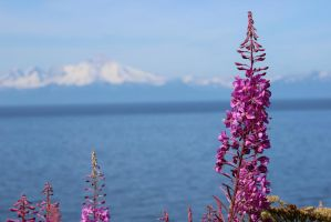 fireweed framed mounains by xdancingintherain