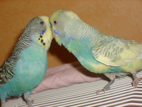 kissing budgies by ingeline-art