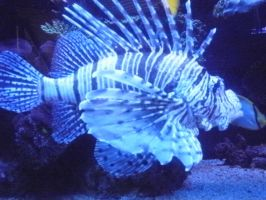Lion fish by Sara-A2