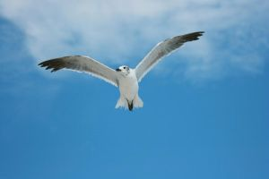 Flying Seagull 3 by dlc-nature-stock