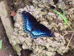 Blue Butterfly by traveler24