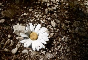 Mountain Daisy with Droplets by LouisTN
