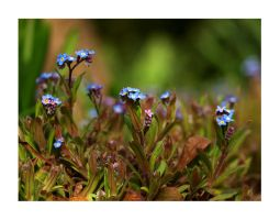 forget me not by Bodghia