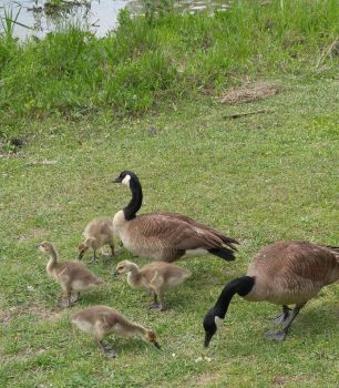 New Baby Geese by OzzieAstaroth