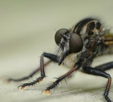 Robber fly,,,,,,., by duggiehoo