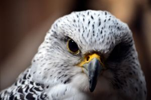 Gyrfalcon by Momenti-Photo