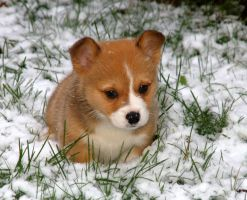 Baby Snow Corgi by InADream