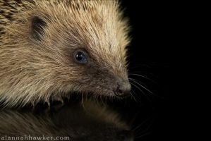 Hedgehog 02 by Alannah-Hawker