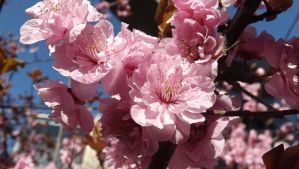 Pink Blossoms 1 by mc1964