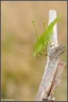 Katydid by Dark-Raptor