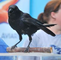 american crow 2.1 by meihua-stock
