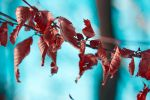Red Leaves by adrianbilescu