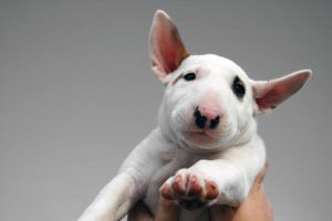 bullterrier puppy by Nimphe