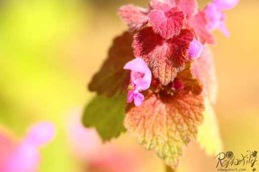 2017.04.17 dead nettle by RaptorXilef