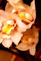 Soft Orchids by wwwendycom