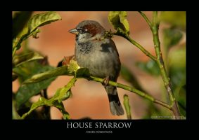 House Sparrow by THEDOC4